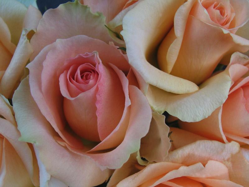 File:Des roses.jpg