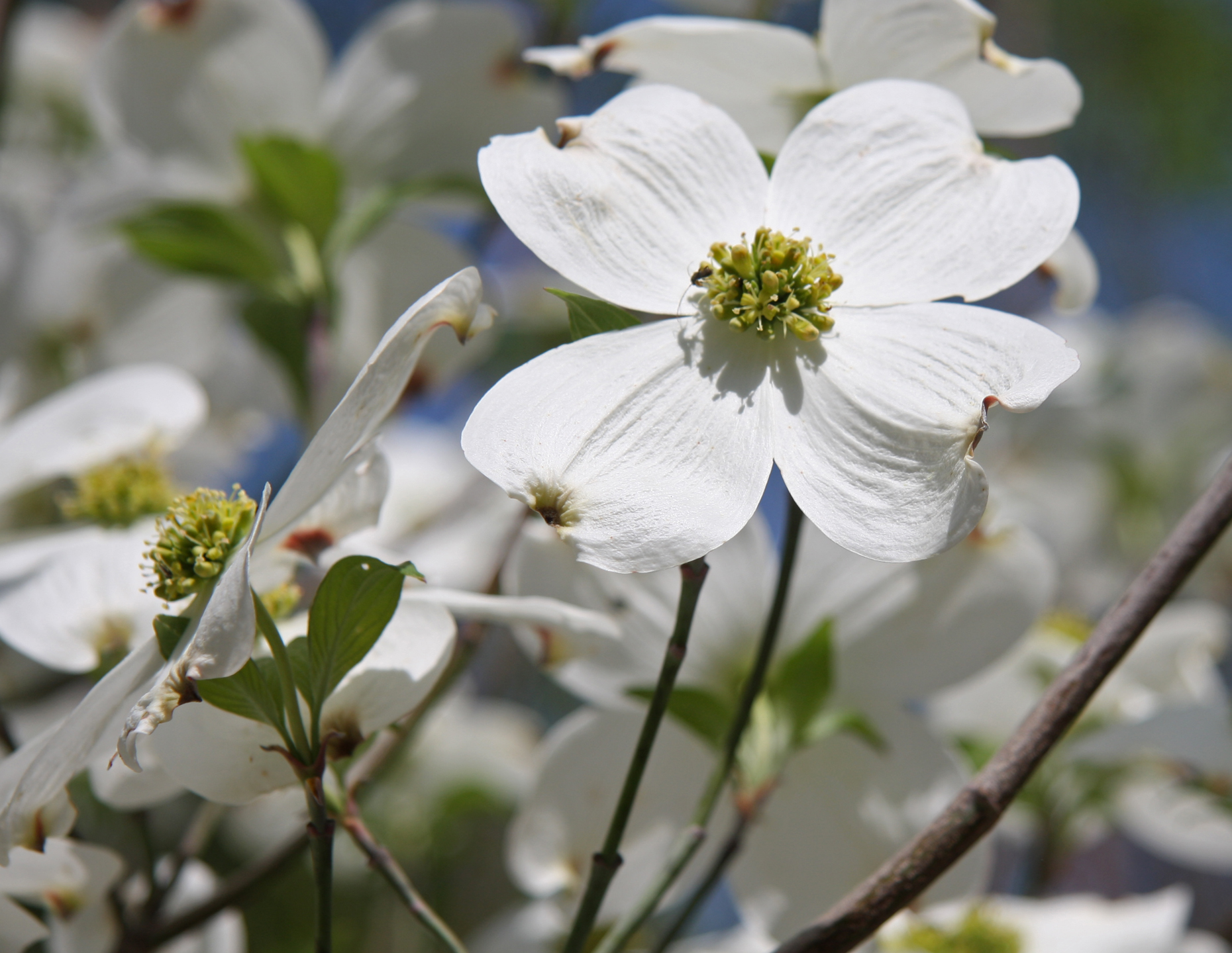 dogwood flower meaning  flower, Natural flower
