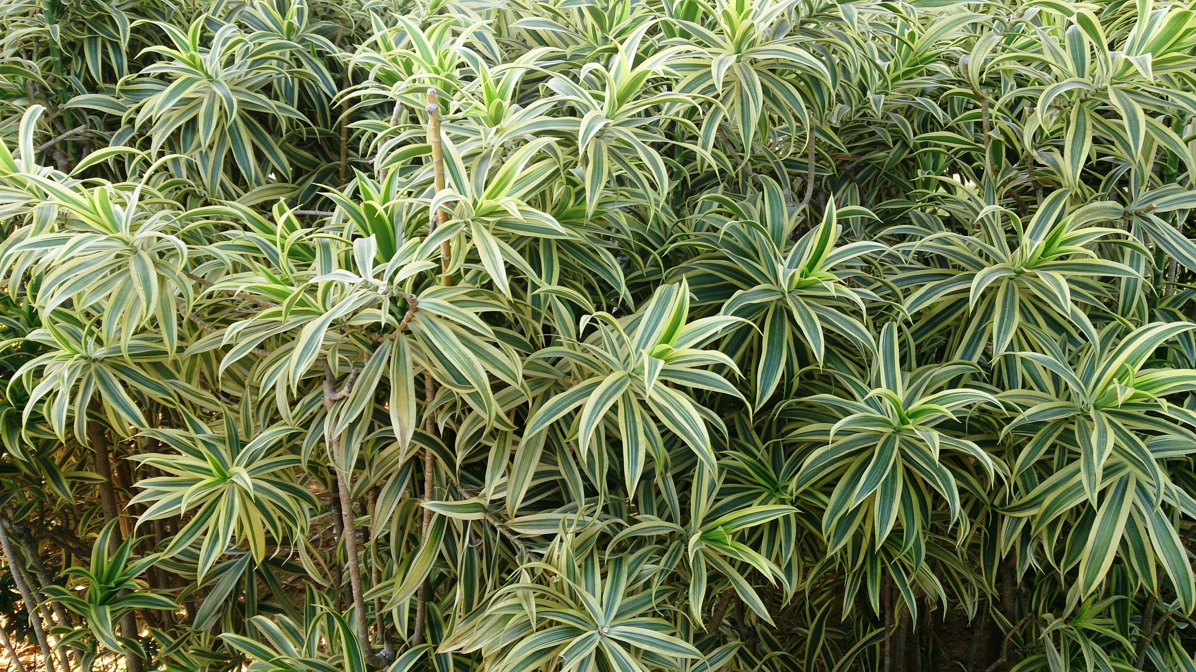 dracaena song of india how to grow
