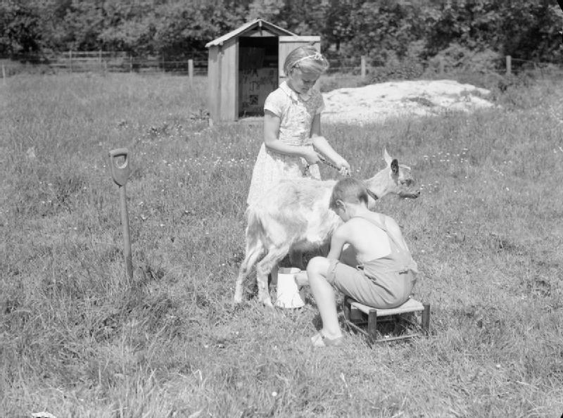 Miling a goat