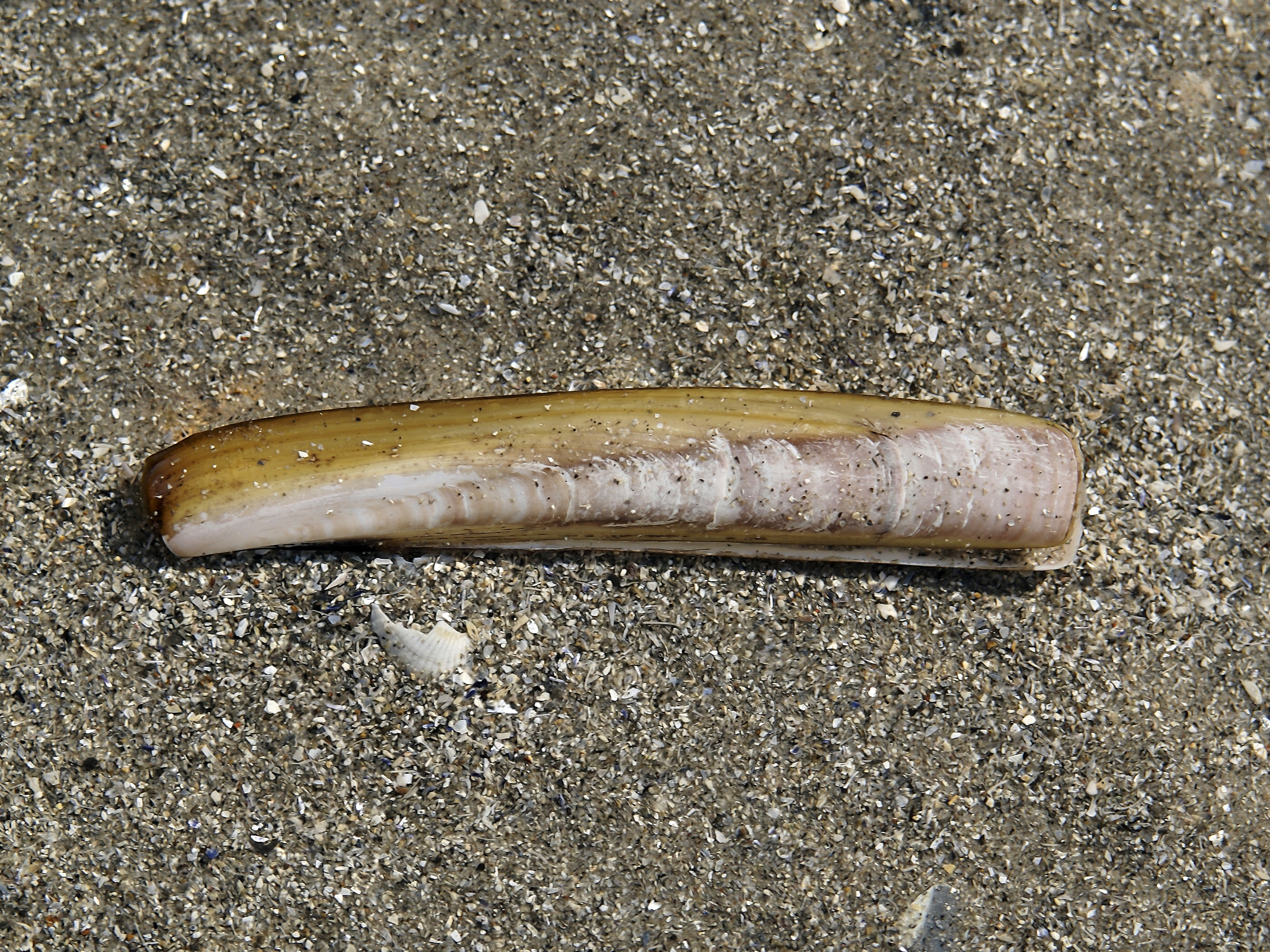 Atlantic jackknife clam - Wikiwand