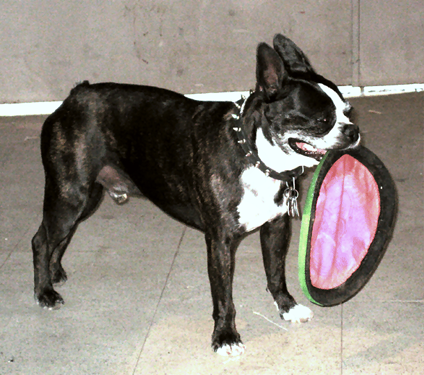 A black and white dog holding a Frisbee in its mouth