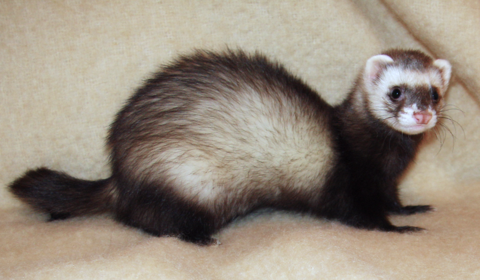 http://upload.wikimedia.org/wikipedia/commons/3/32/Ferret_2008.png