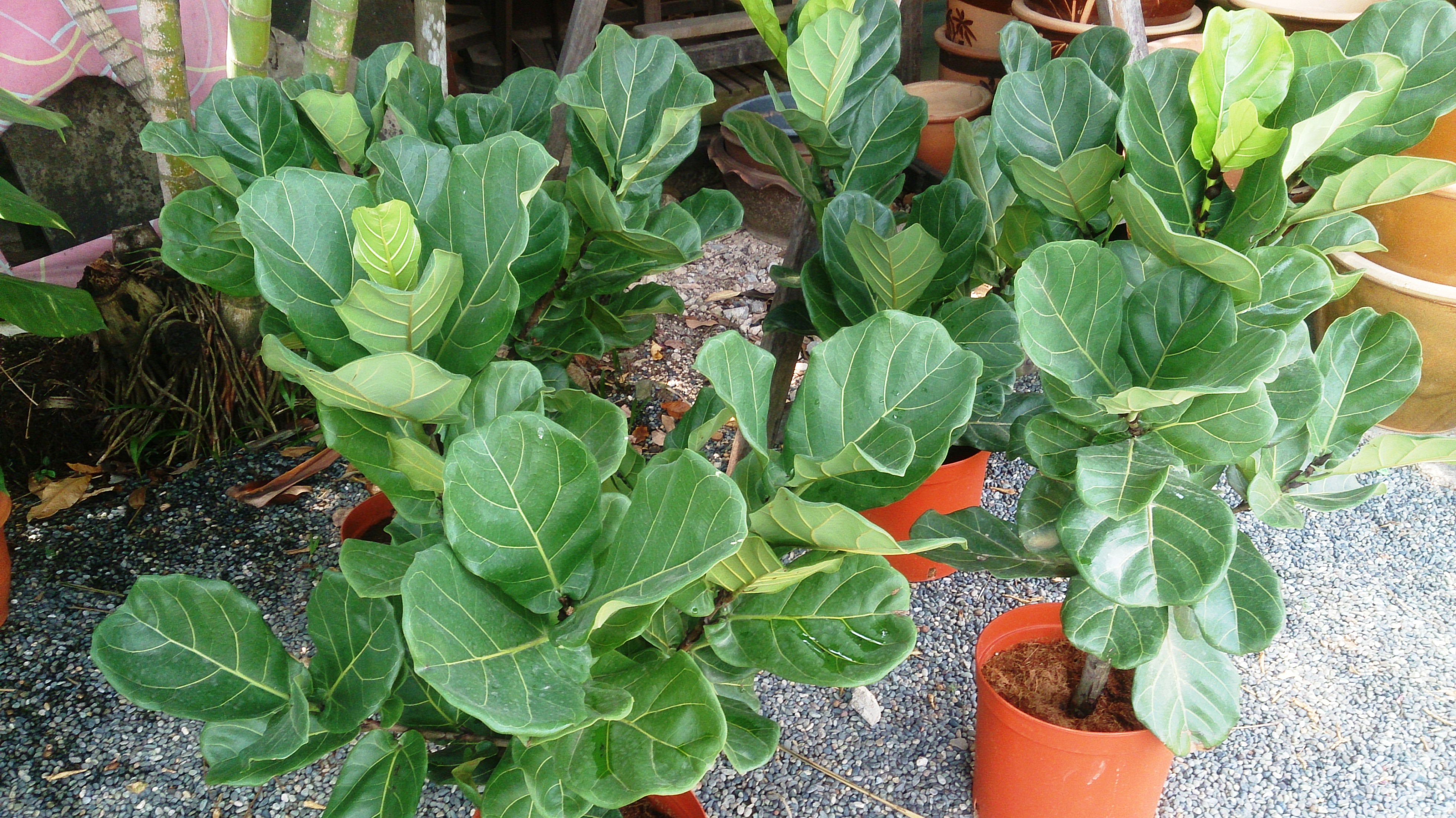 File:Fiddle leaf fig 5.jpg - Wikimedia Commons