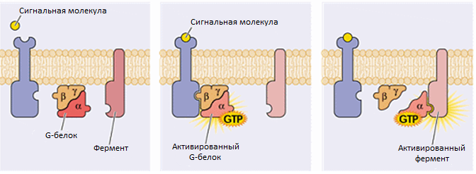 G-protein interections.png