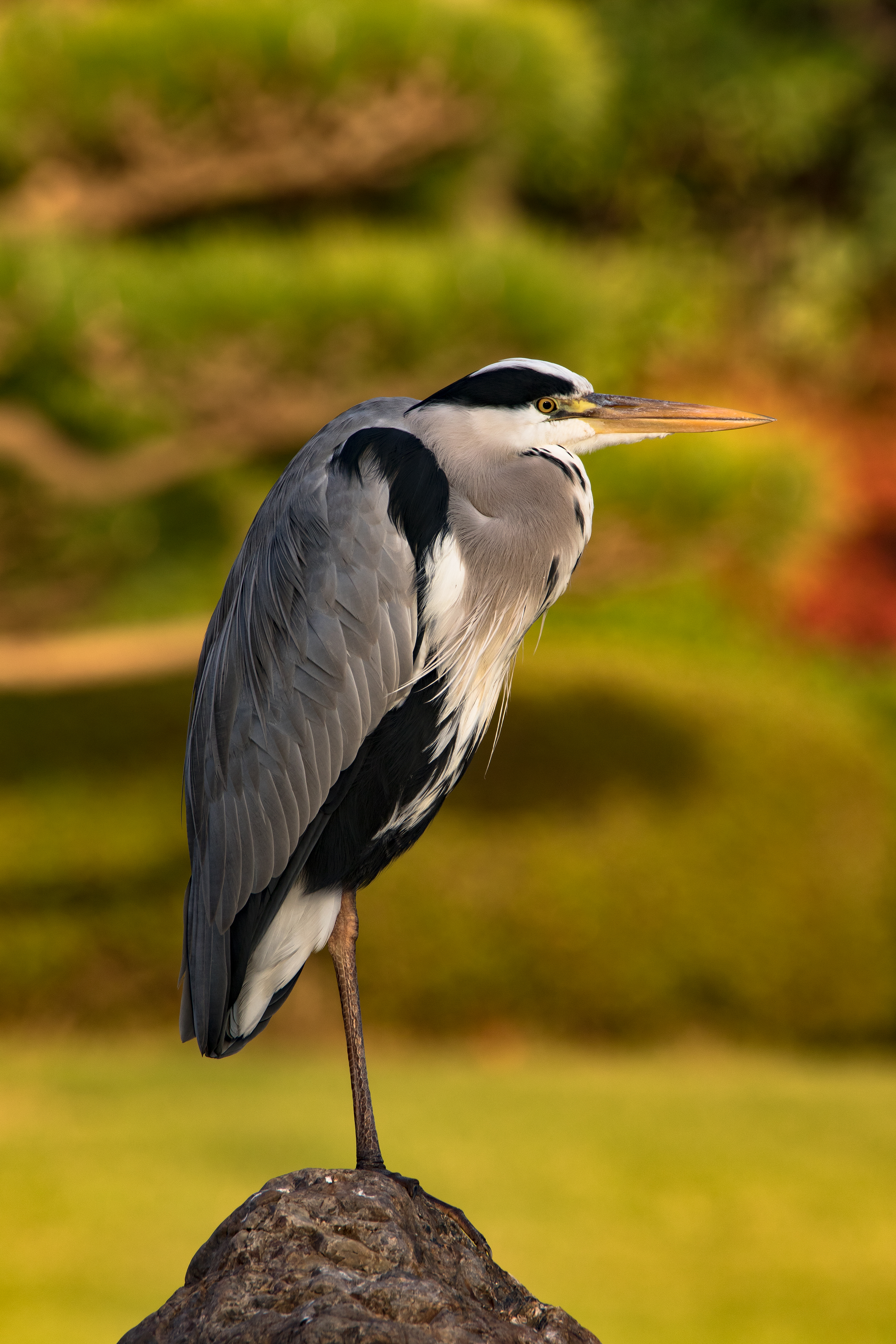 File Grey Heron October 2015 Ii Jpg Wikimedia Commons