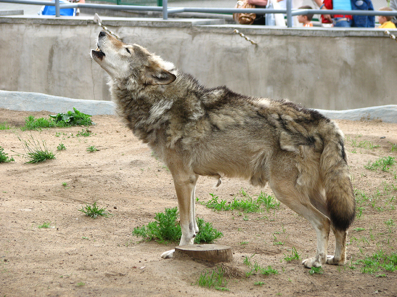 http://upload.wikimedia.org/wikipedia/commons/3/32/Howling_wolf_01.jpg