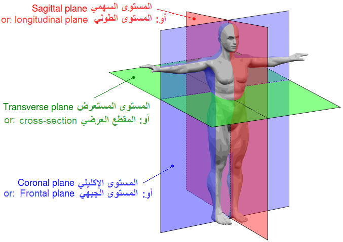 Filehuman Anatomy Planes Arabic Ymg Wikimedia Commons