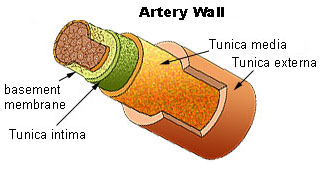 uterine wall diagram arterial wall diagram tunica media – wikipedia