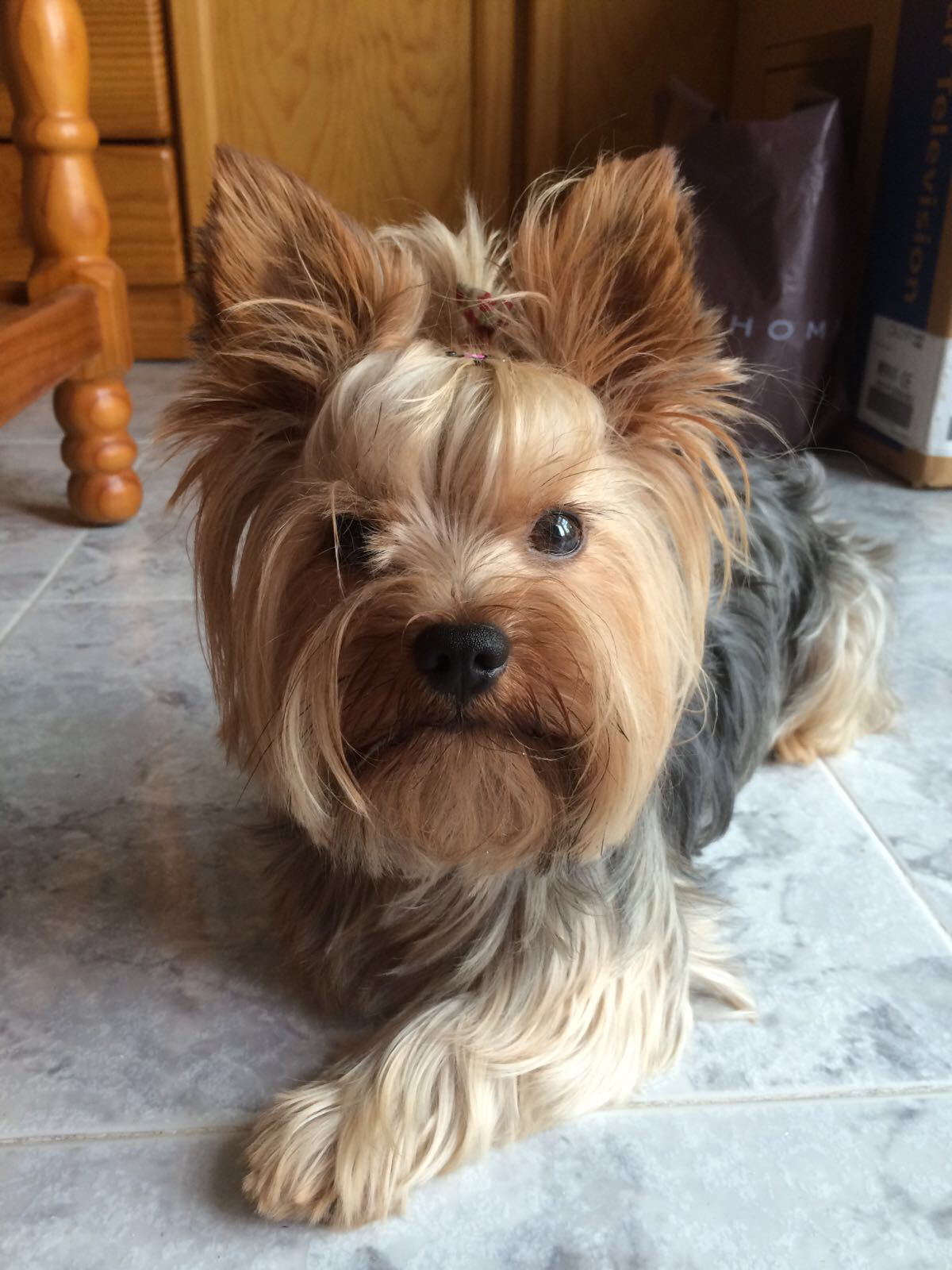 Yorkshire Terrier: kinds of terriers