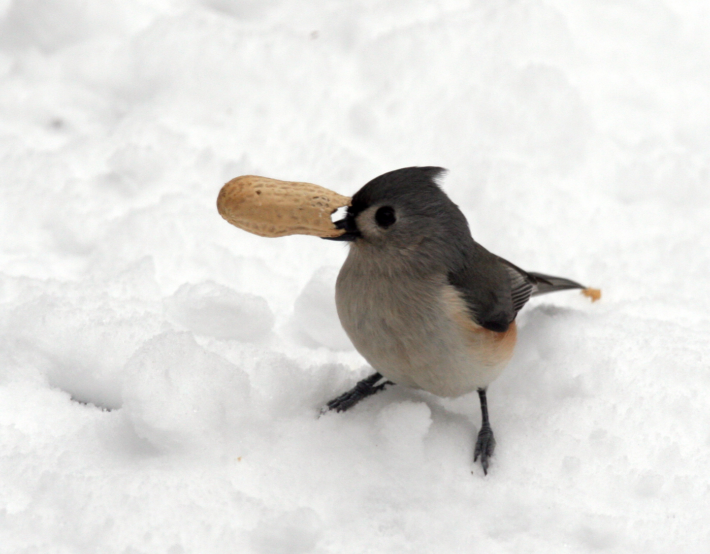 A white-throated swallow in the snow with a peanut shell