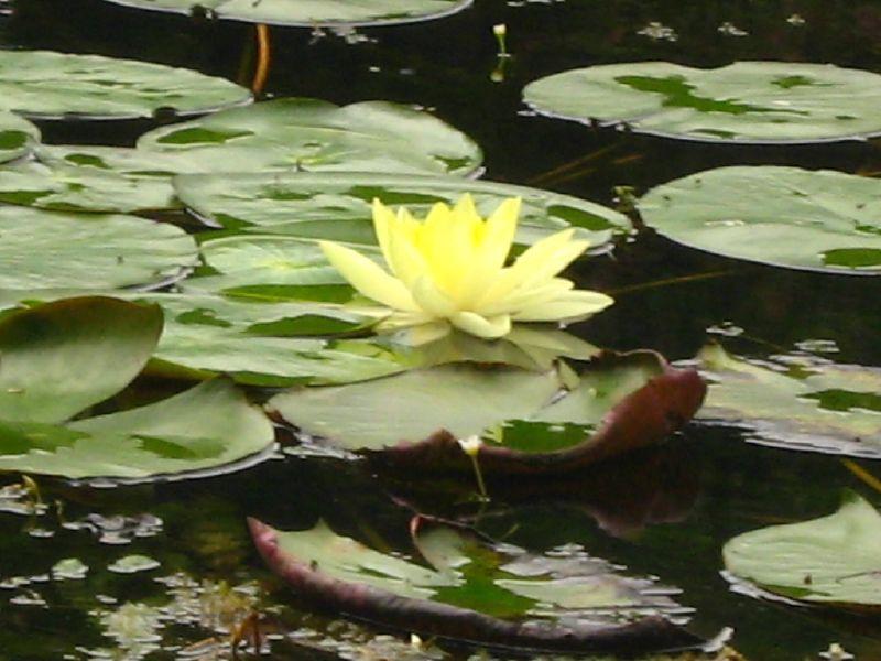 File jardin botanico flor de loto wikimedia for Bodas en el jardin botanico medellin