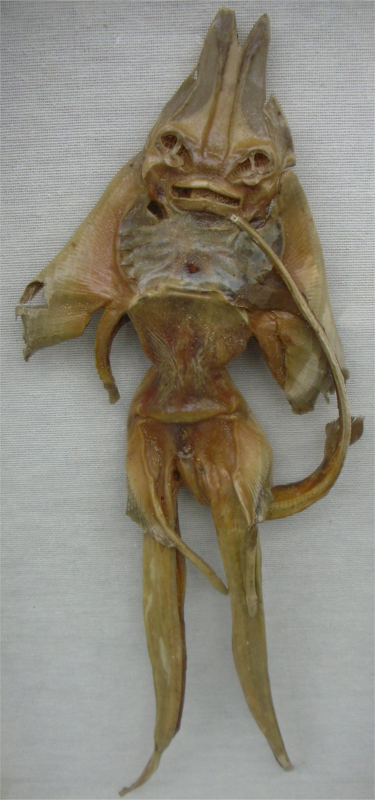 Description Jenny Haniver1218.jpg
