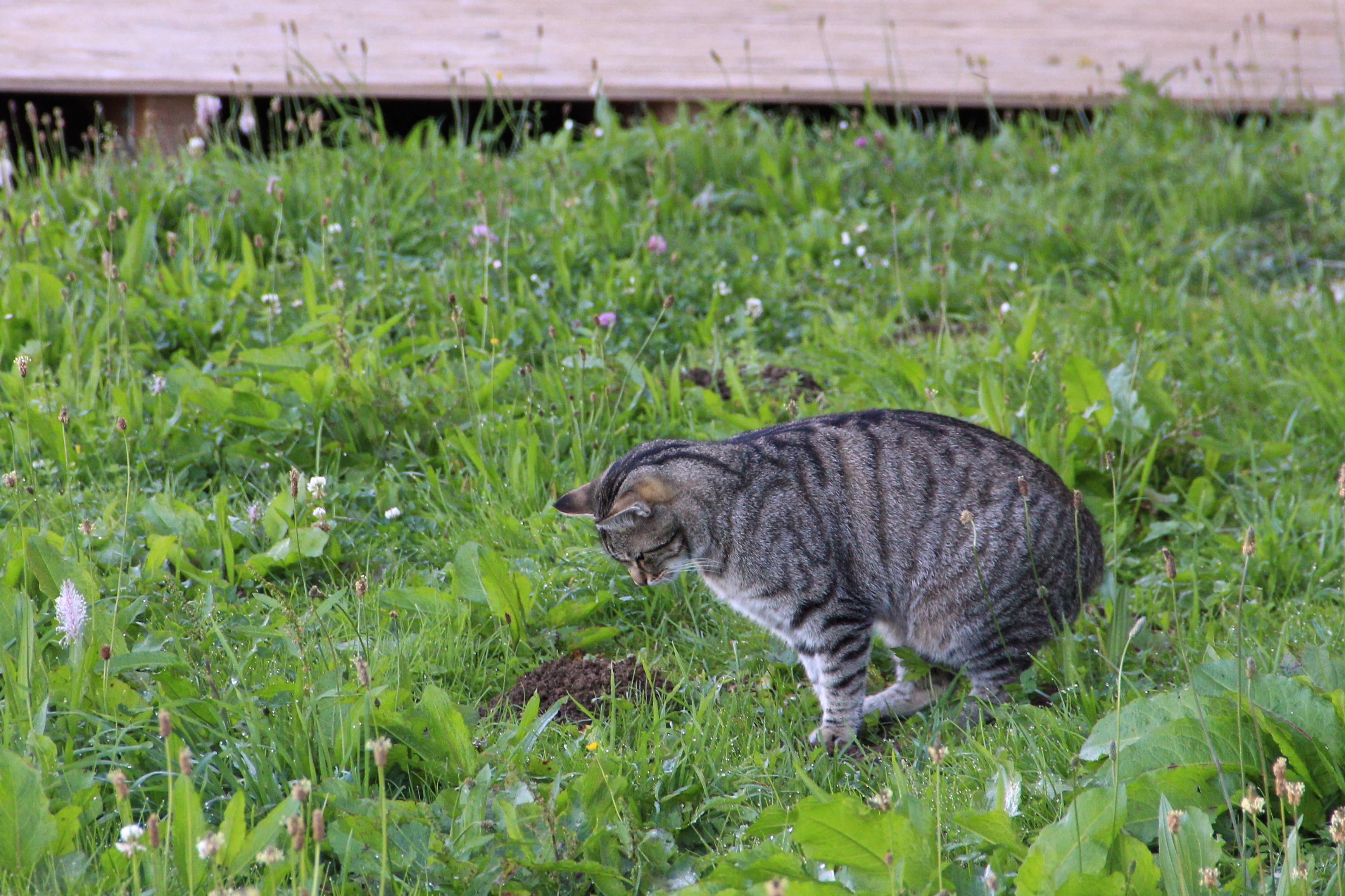 Datei Katze Beim Mause Fangen Jpg Wikipedia