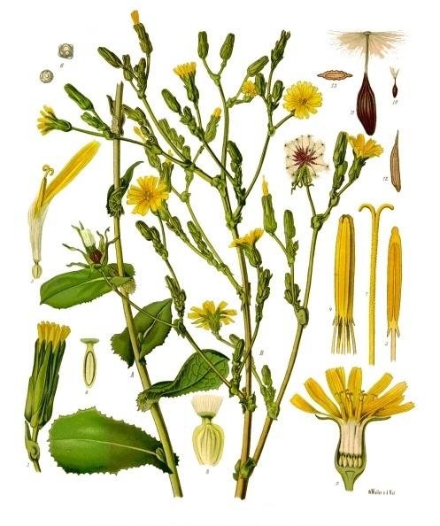 Lactuca virosa - Köhler–s Medizinal-Pflanzen-213