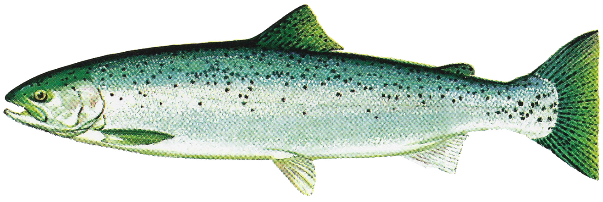 File lake washington ship canal fish ladder pamphlet for What is steelhead fish
