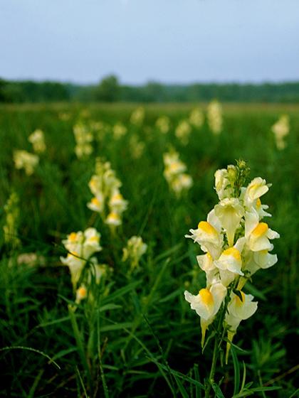 File:Linaria vulgaris.jpg