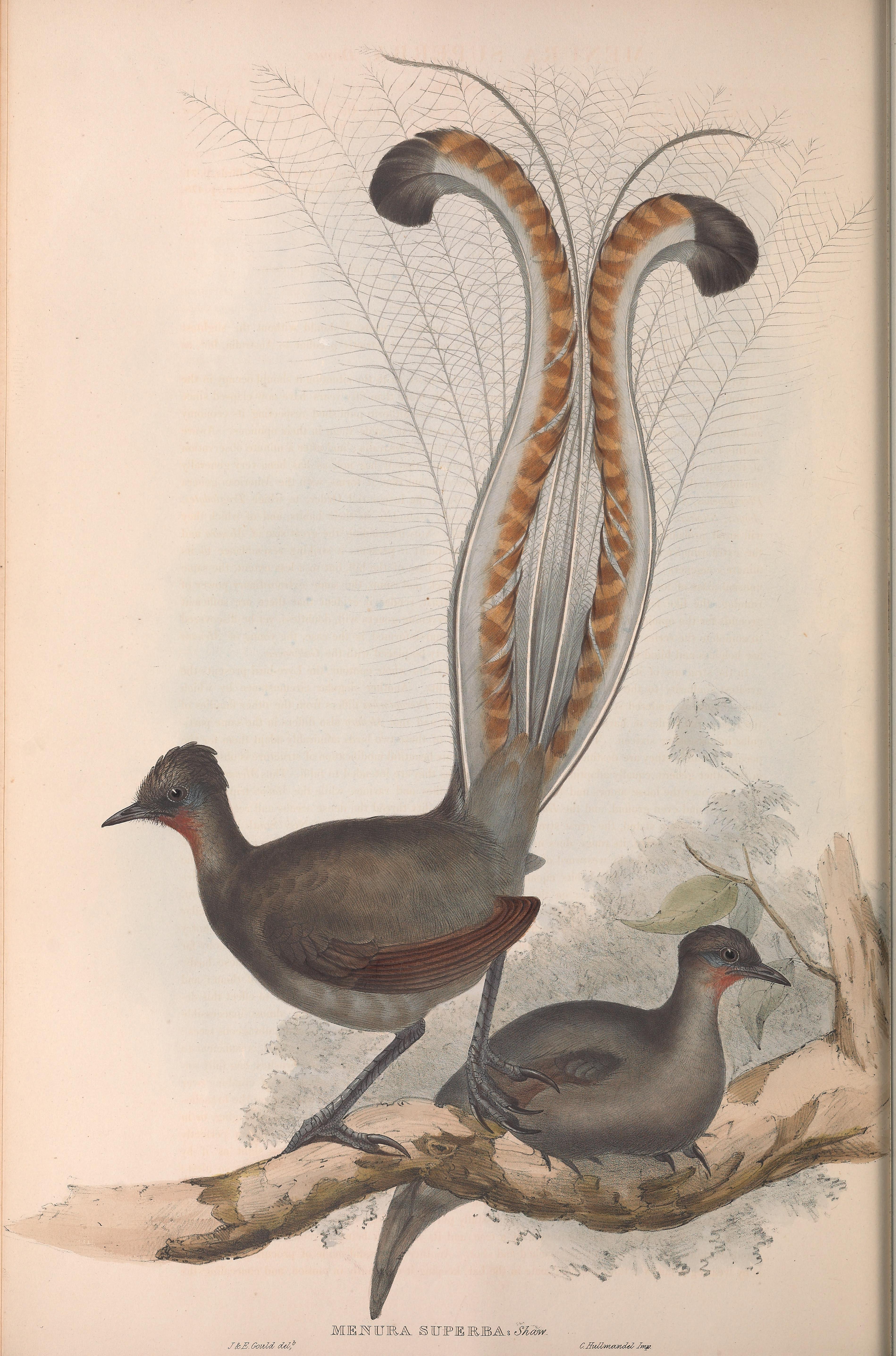 File:Lyre bird.jpg