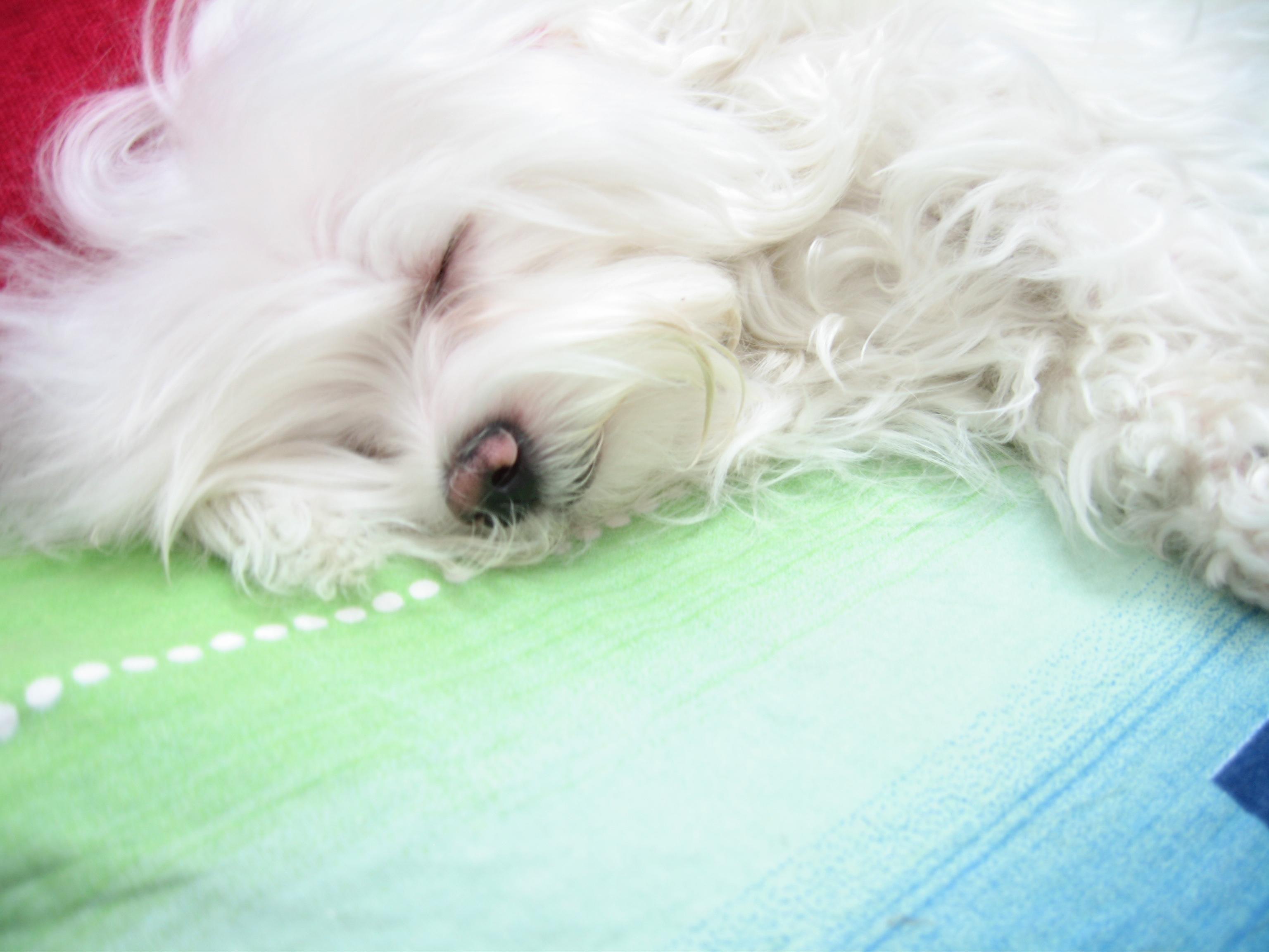 File:Maltese dog named Pofak.jpg - Wikimedia Commons