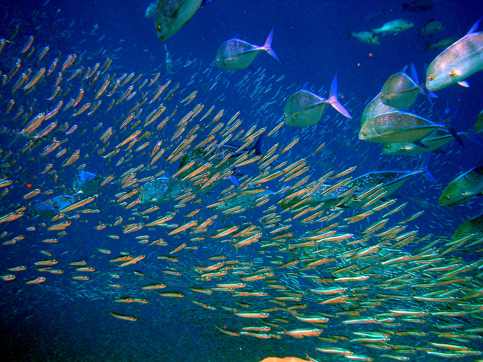 An underwater picture taken in Moofushi Kandu, Maldives, showing a huge amount of fish. Photo taken by Bruno de Giusti