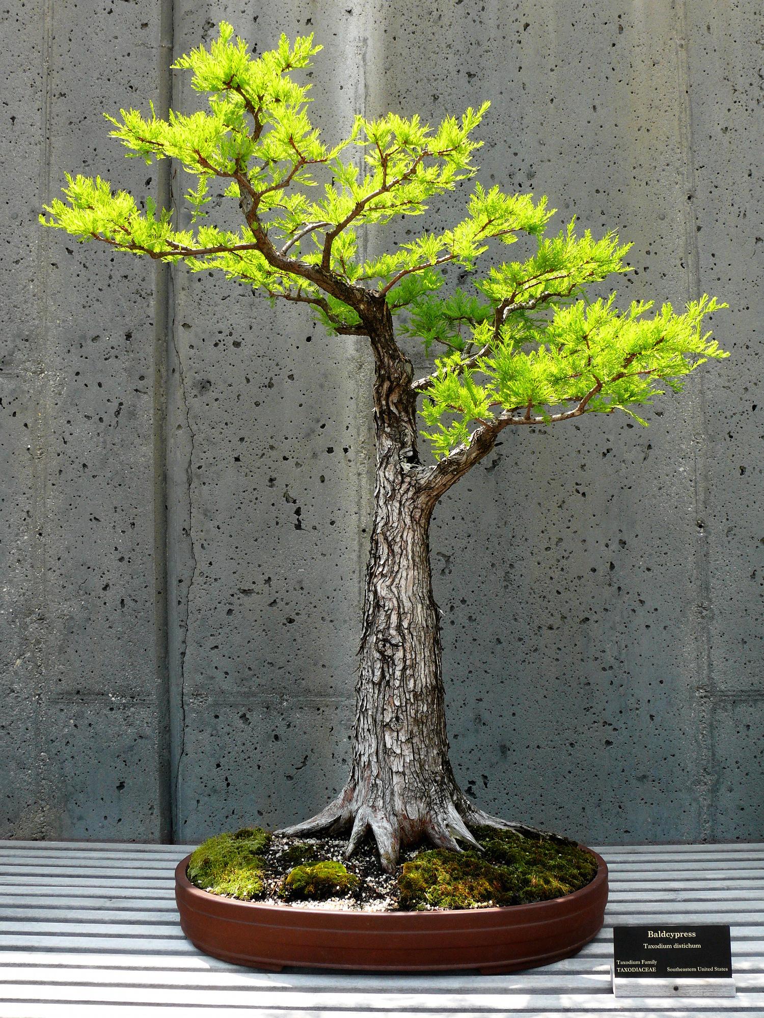 Taxodium distichum bald cypress cool stuff pinterest for Bonsai tree pics