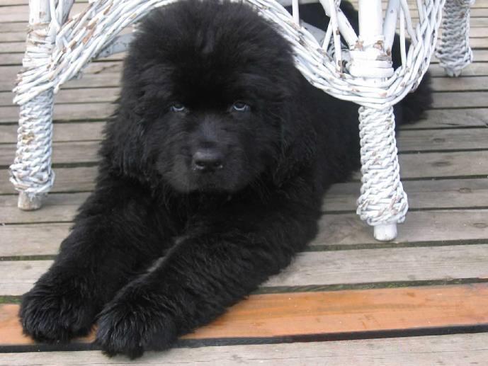 Världens största hund - Newfoundlandhund