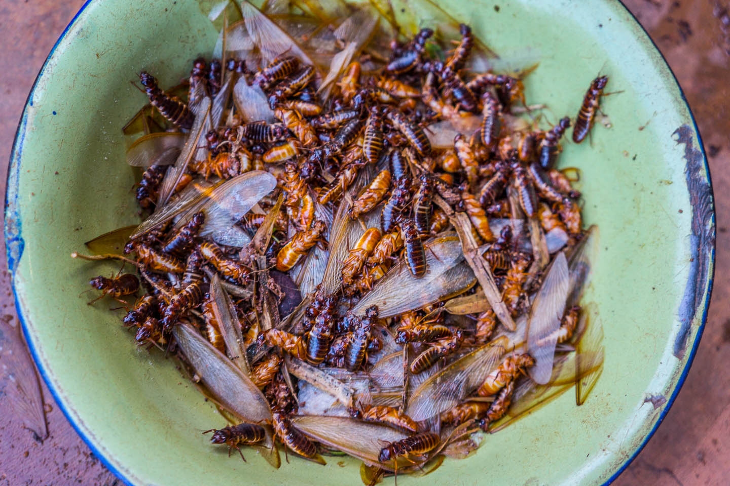 termites with wings collected at the start of the rainy season