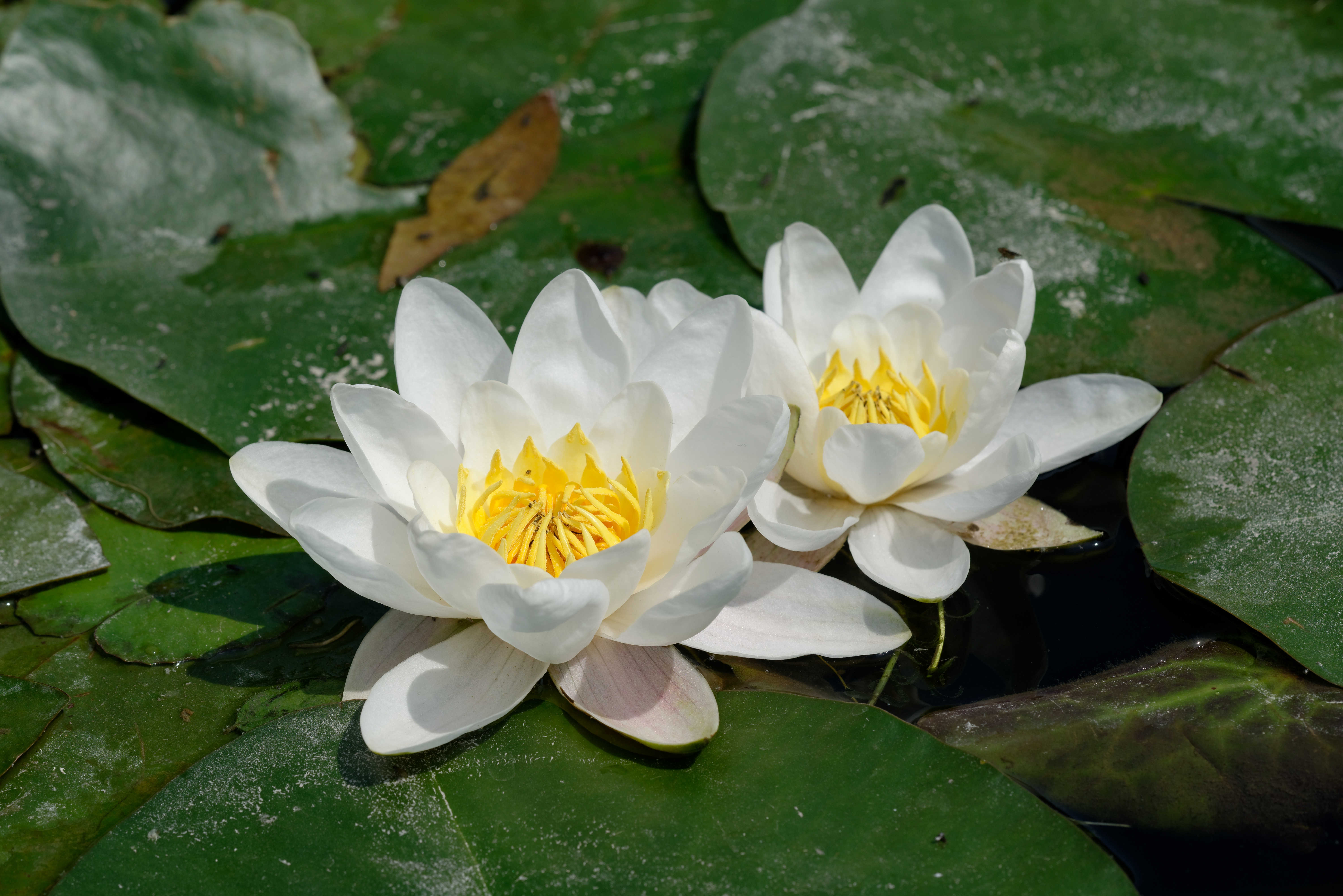 File Nymphaea Alba Jdp 2013 06 08 N01 Jpg Wikimedia Commons