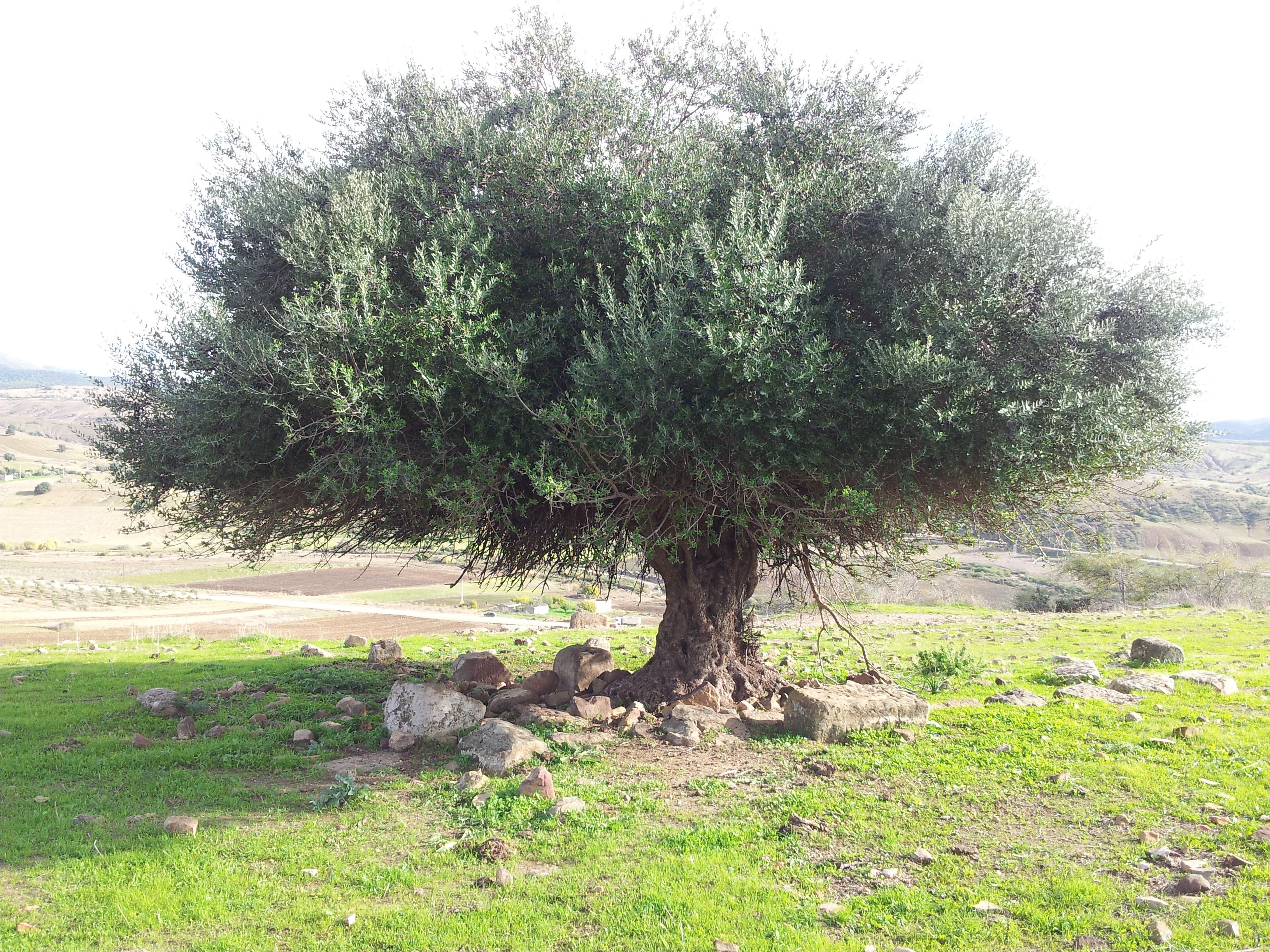Fichier olivier d 39 alg wikip dia - Comment entretenir un olivier arbre ...