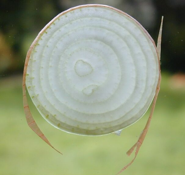 File:Onion slice.jpg
