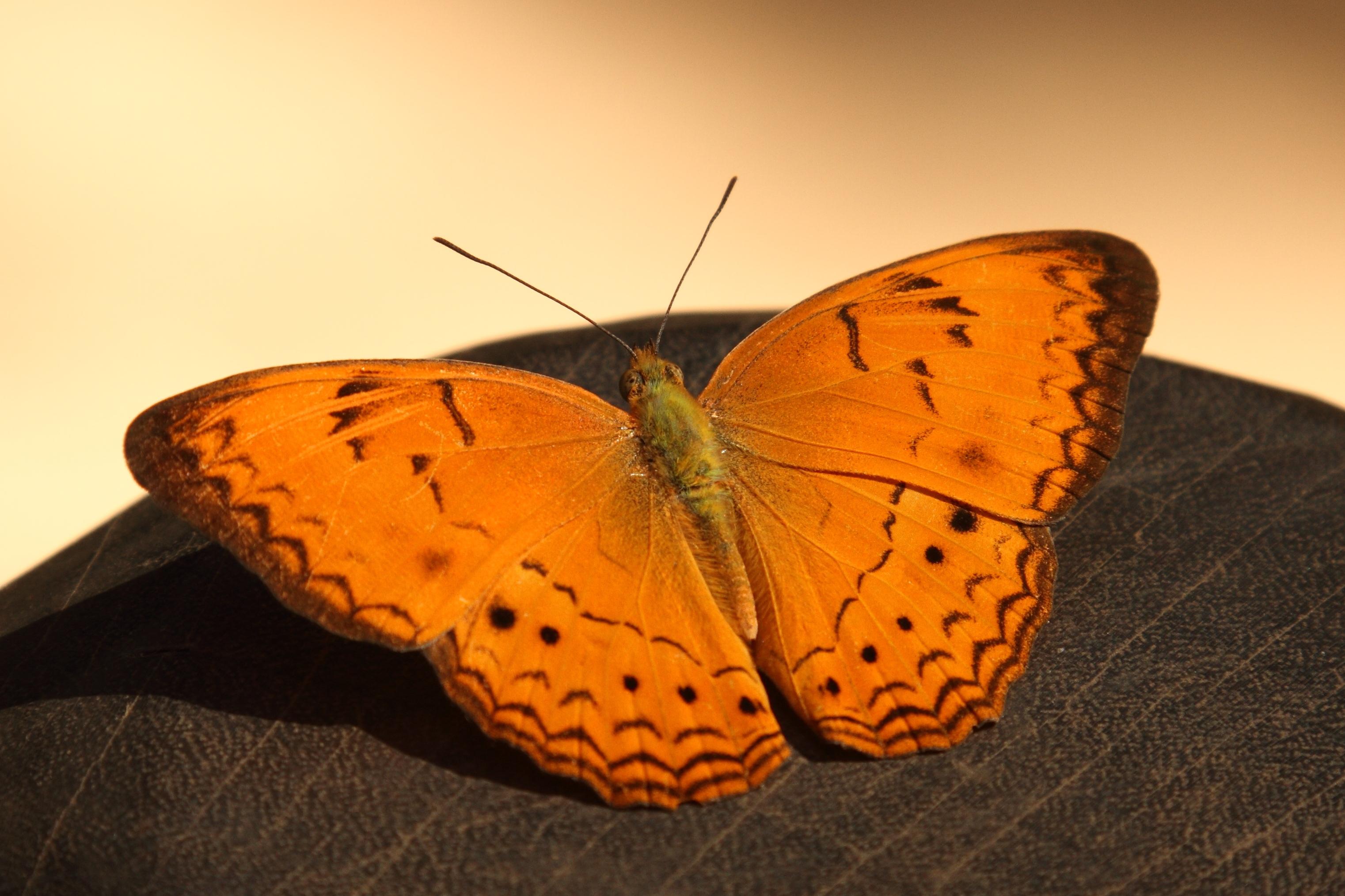 File:Orange Butterfly (4201956193).jpg