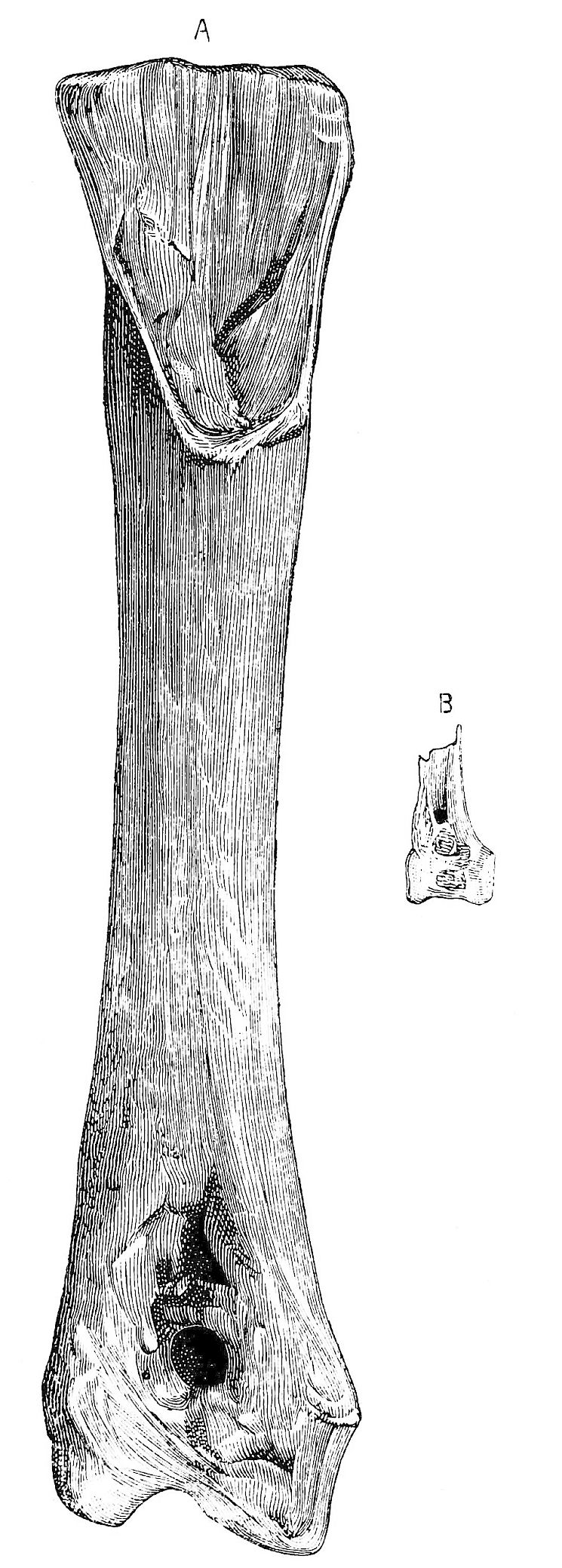 PSM V21 D482 Tibia size comparison of a gastornis and a swan.jpg
