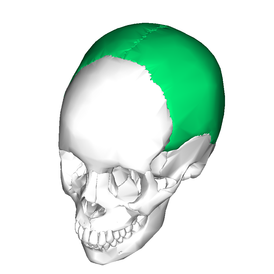 https://upload.wikimedia.org/wikipedia/commons/3/32/Parietal_bone_superior3.png