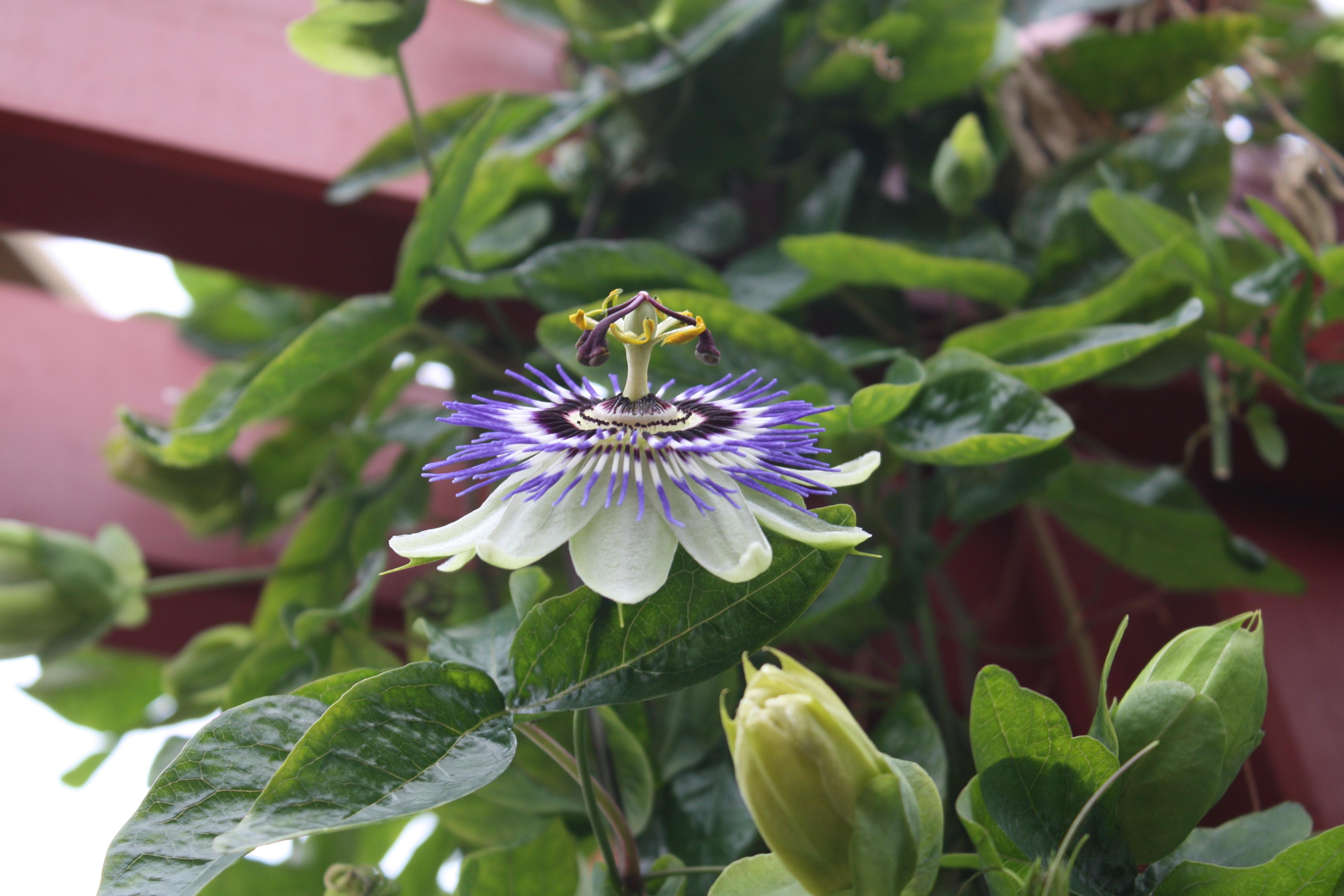 file passiflora caerulea k rsimyskukka c img 4139 jpg. Black Bedroom Furniture Sets. Home Design Ideas