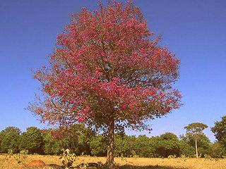<i>Aniba rosaeodora</i> Species of tree