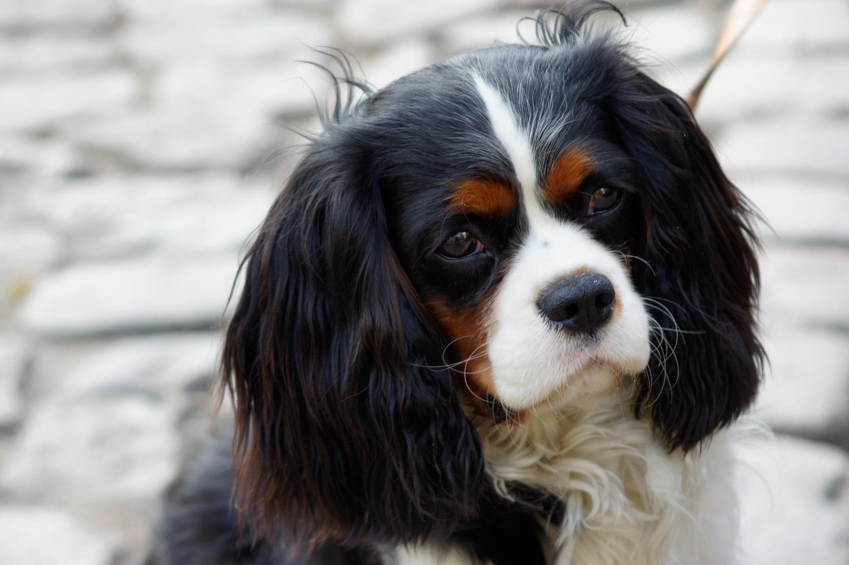 dog breeds for cuddling