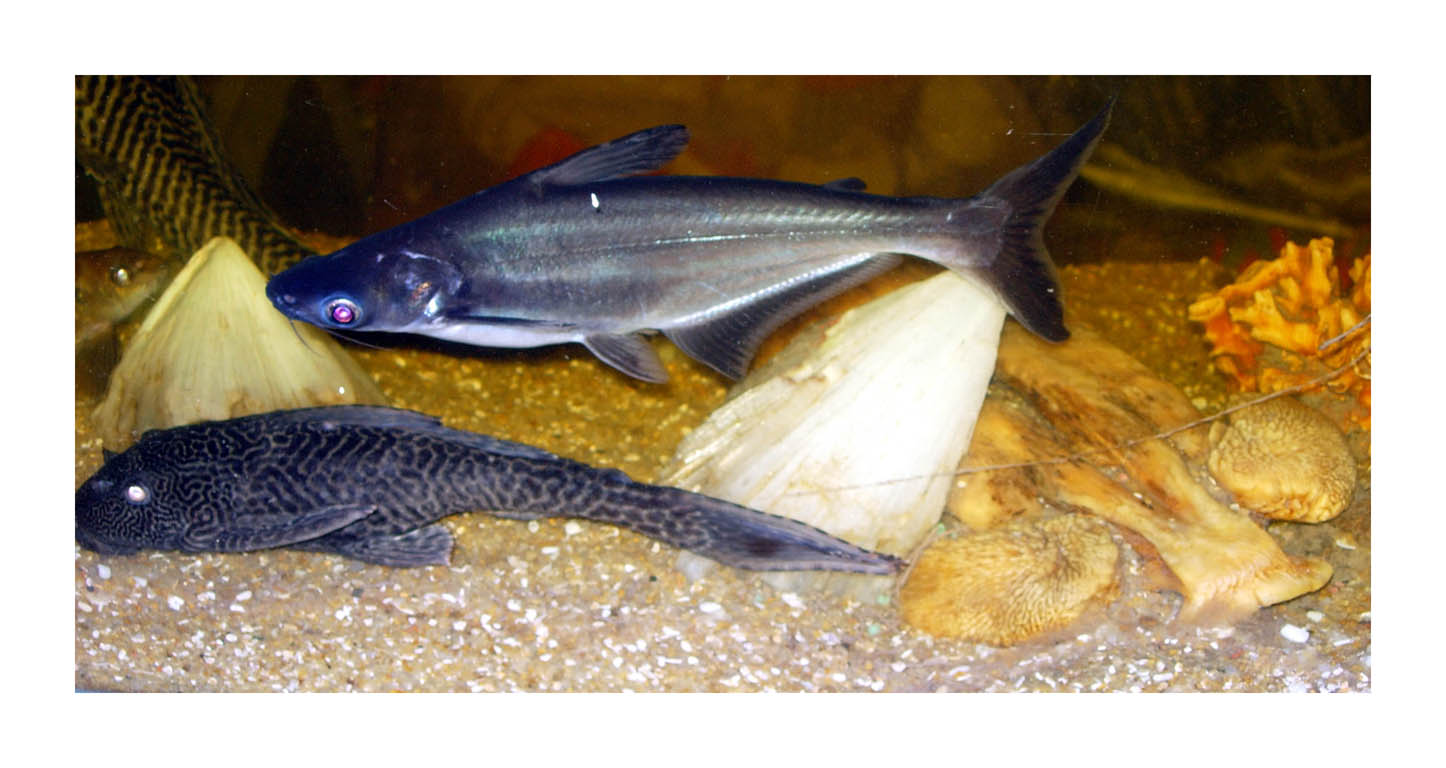 Fish tank sharks - File Pet Shark In A Fishtank Jpg