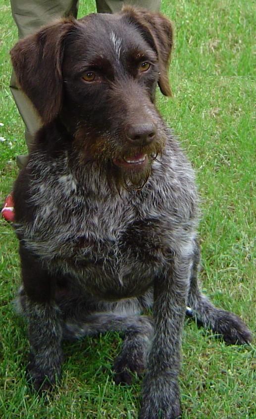 File:Polka, une chienne Drahthaar de 6 ans.jpg - Wikimedia ...