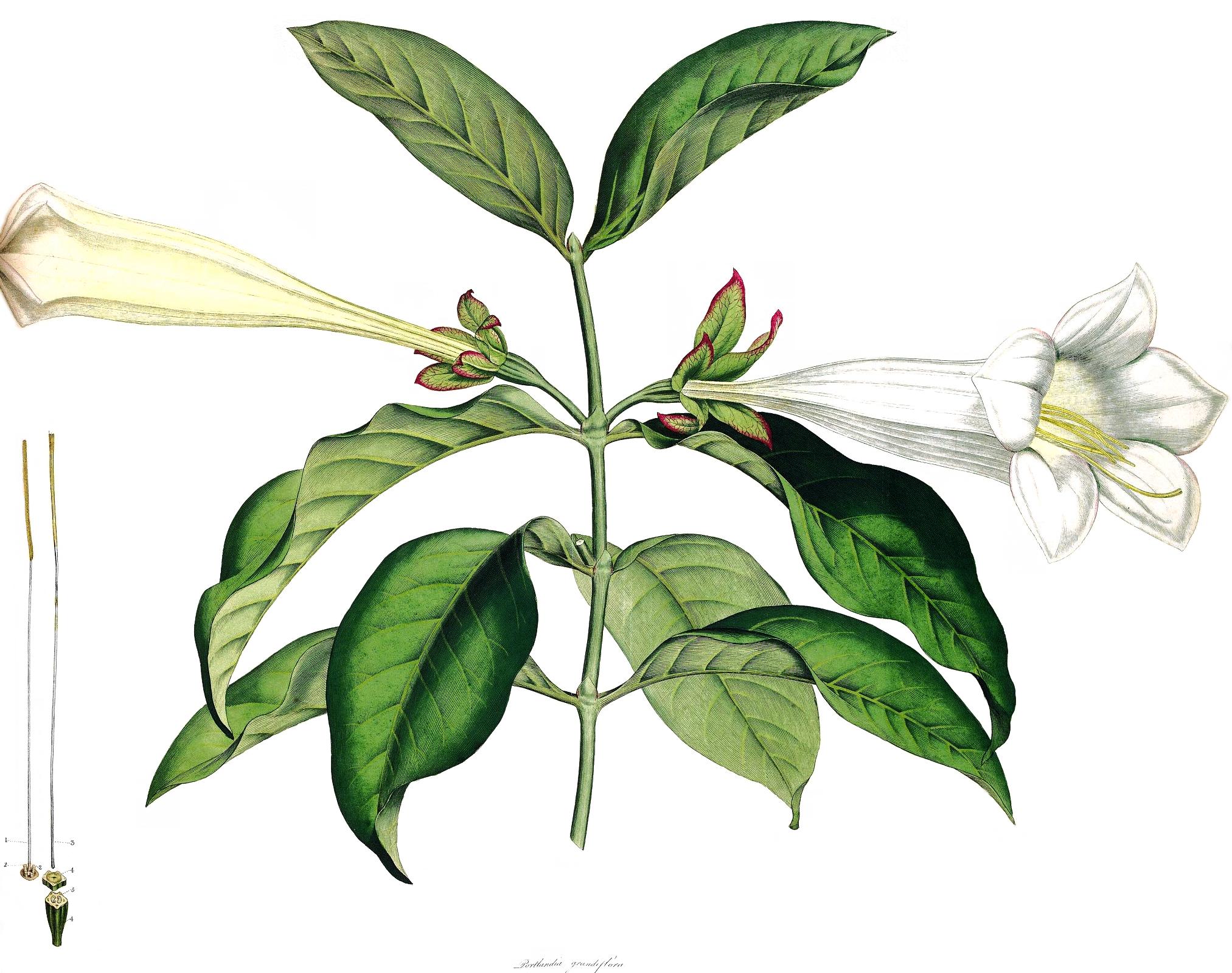 Portlandia grandiflora SmSo.png © James Edward Smith and James Sowerby