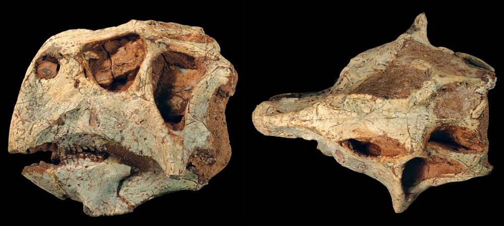 Psittacosaurus_major.jpg