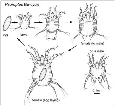File:Psoroptes-life-cycle-diagram.png