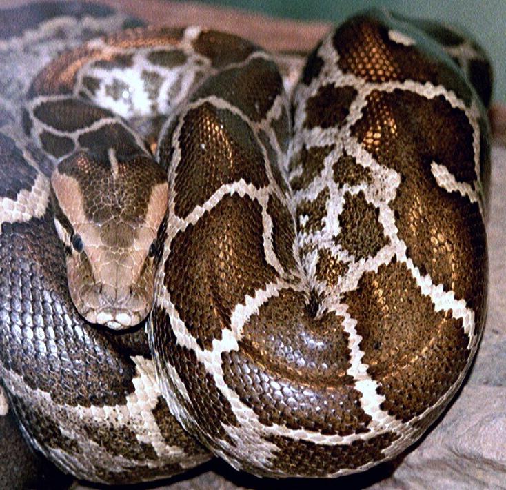 Python-molurus