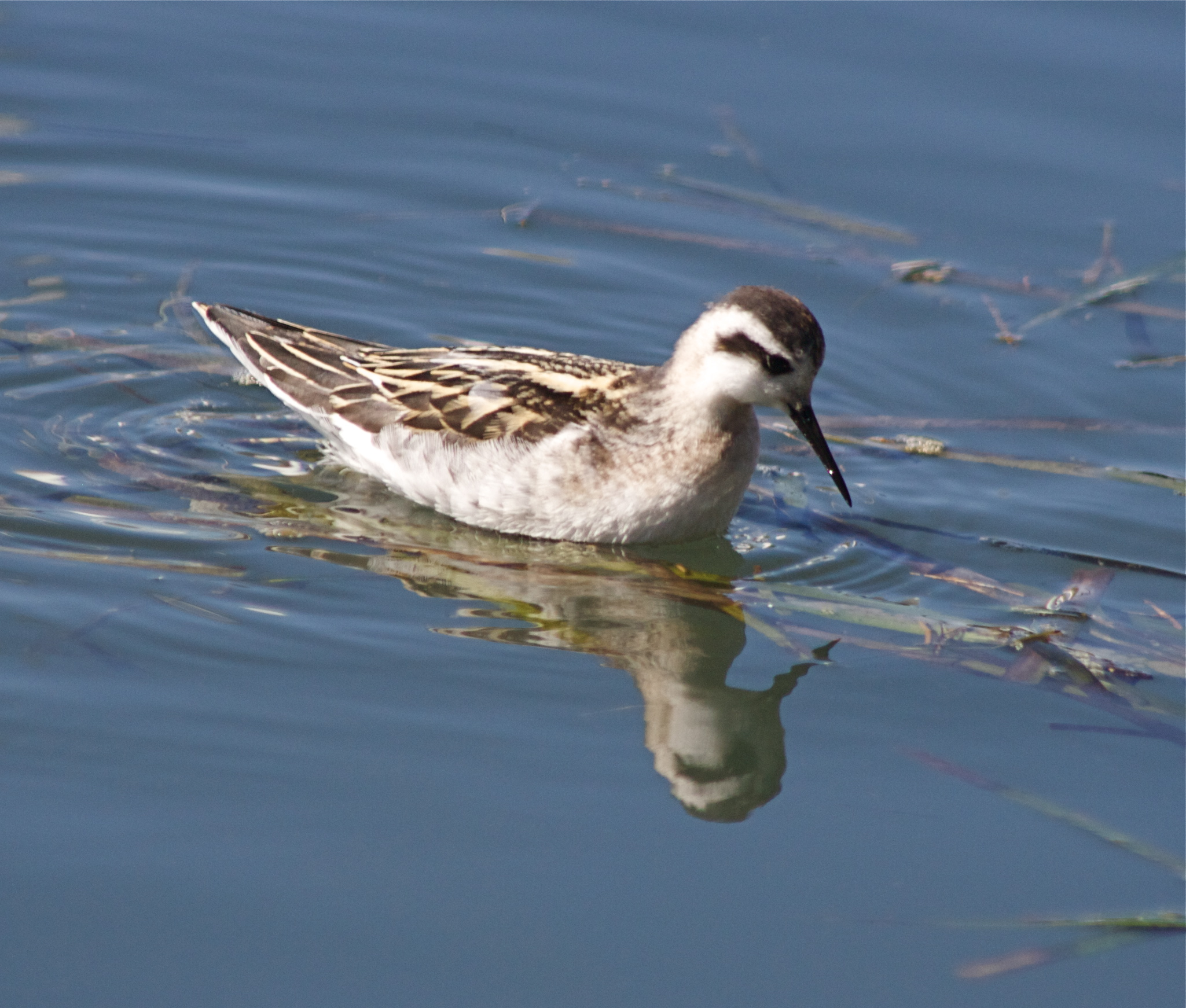 Red-necked Phalarope Red necked Phalarope winter