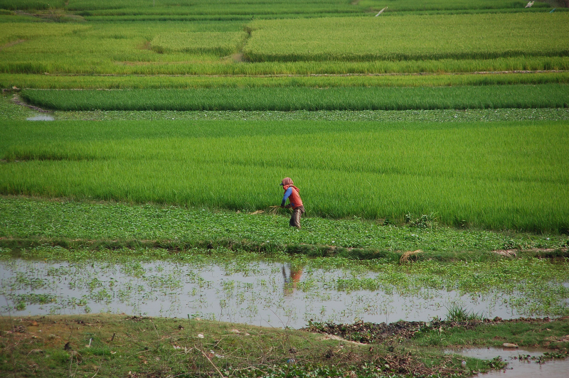 File:Ricefields in Takeo.jpg