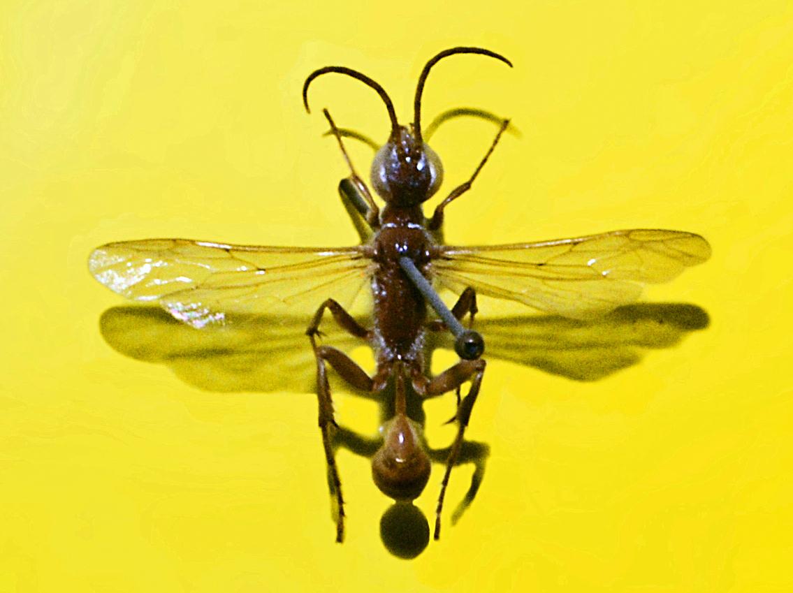 Bộ sưu tập côn trùng 2 - Page 2 Sphecidae_-_Chalybion_flebile