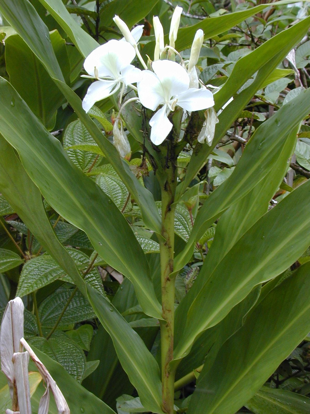 Hedychium Coronarium White Ginger Lily
