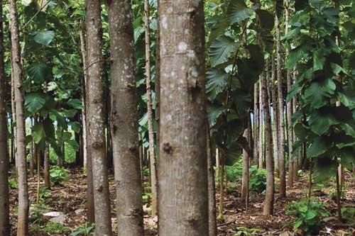 Plantation Teak Wikipedia