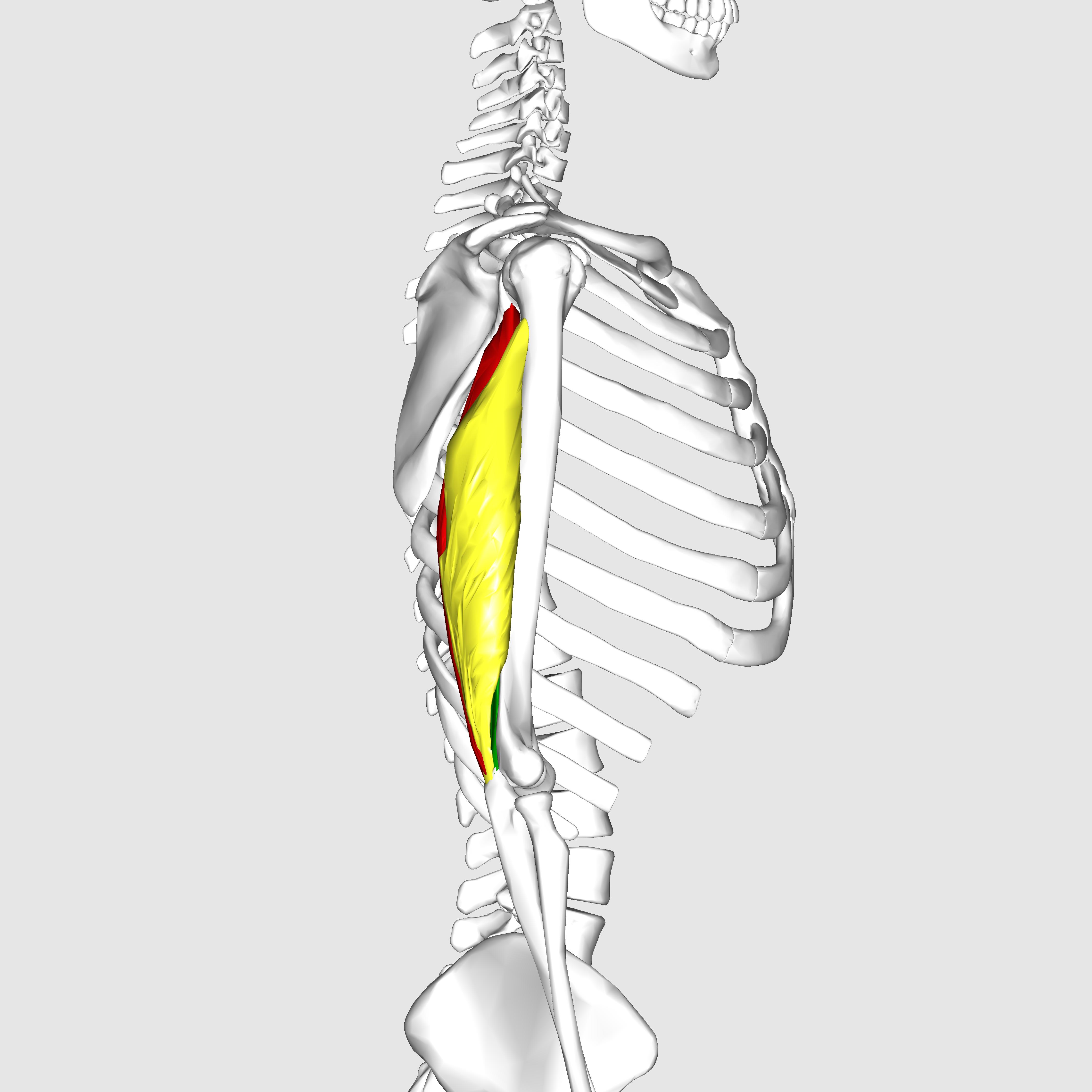 Filetriceps Brachii Muscle08g Wikimedia Commons