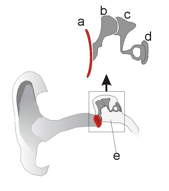 Gehörknöchelchen – Wikipedia
