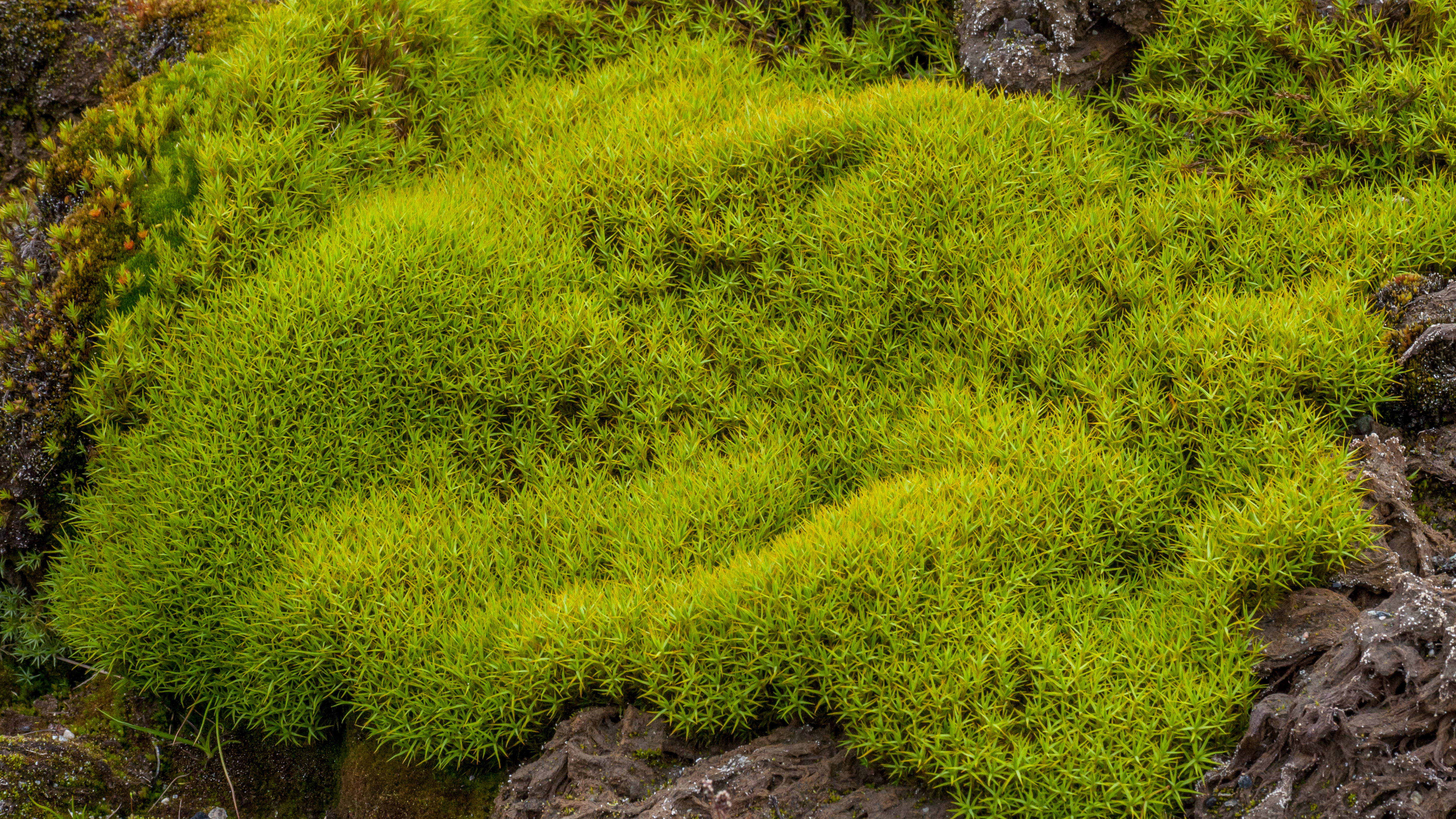 File Tundra Of Svalbard  Densely Growing Moss Jpg